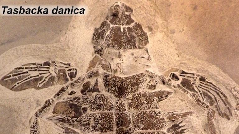 Övre halvan av det välbevarade fossilet