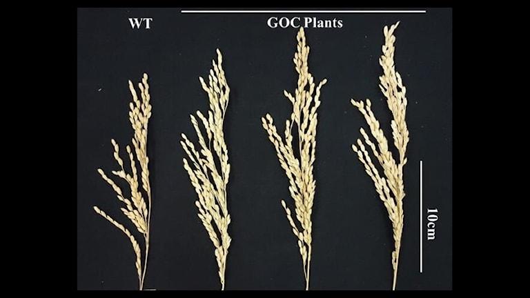Naturliga risplantor jämförs med genförändrade exemplar.