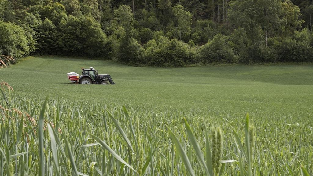 Traktor sprider ut konstgödsel på en åker.