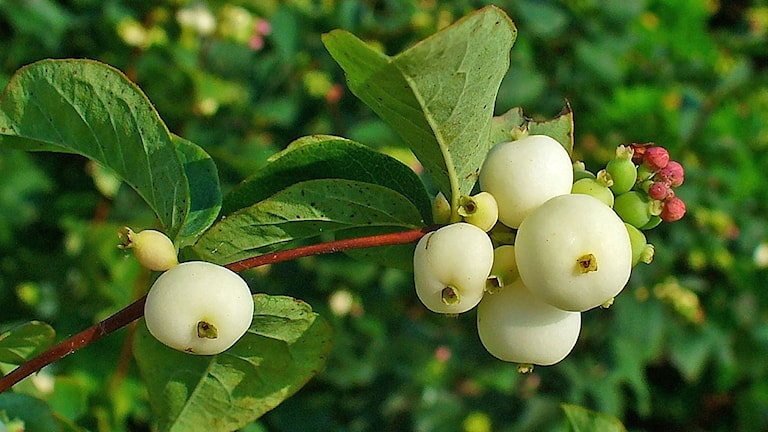 En gren på en snöbärsbuske med vita bär.