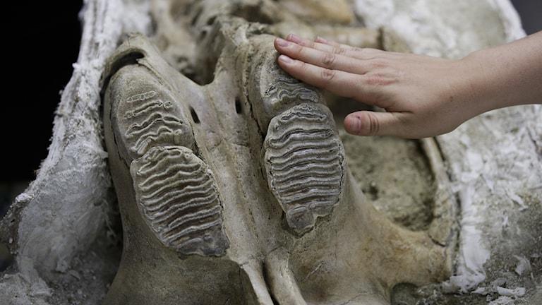En skalle från en columbiamammut som hittades i Los Angeles 2017.
