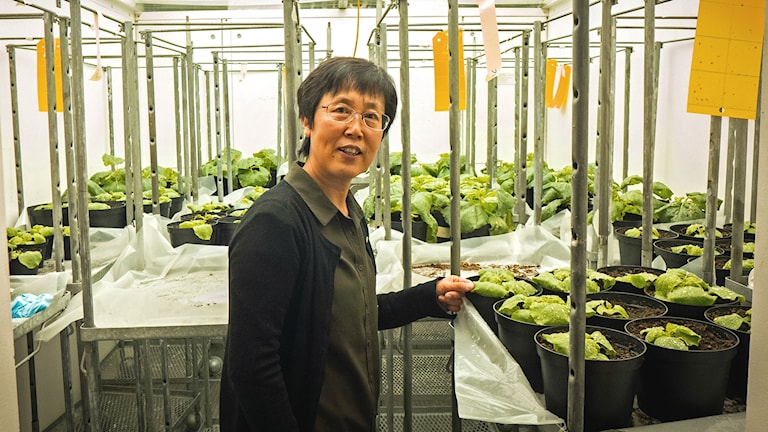 Forskaren Li Hua Zhu i ett växthus i Alnarp