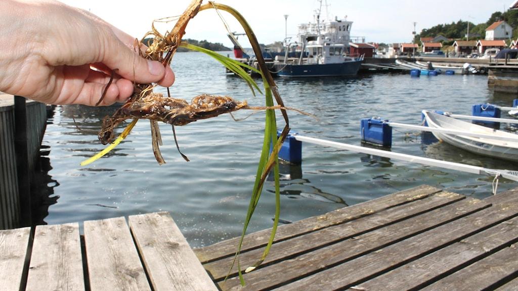 Hand håller i en ålgräsplanta vid en av bryggorna på Tjärnö marinbiologiska laboratorium.