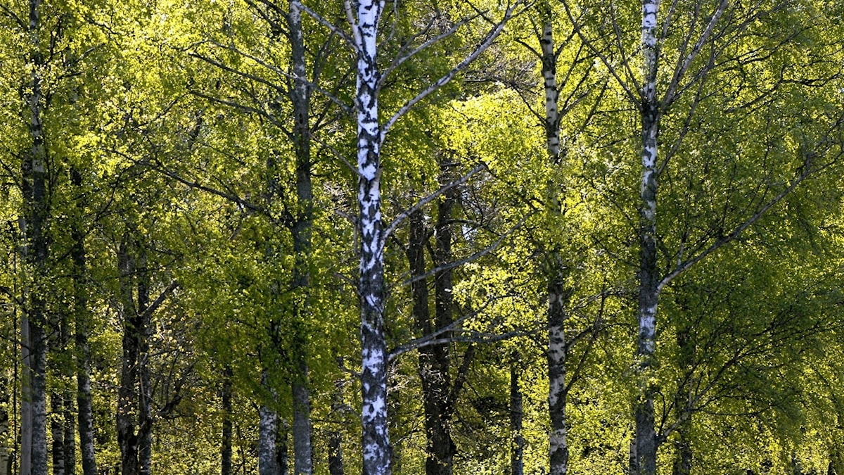 Svart och vit trädstam med gröna löv på toppen.