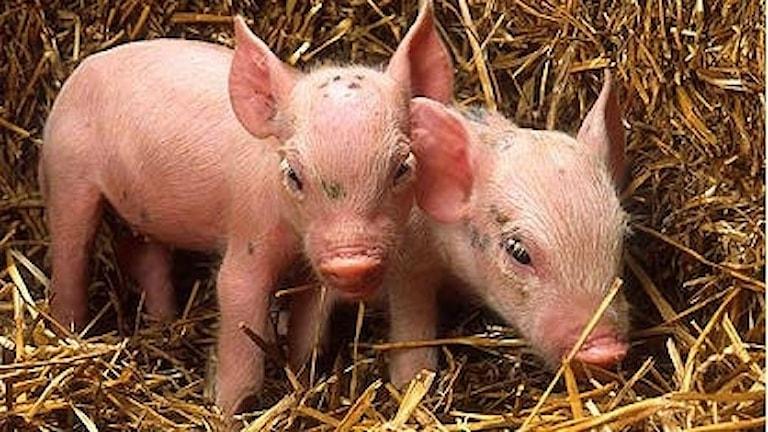 Två griskultingar står i halm.