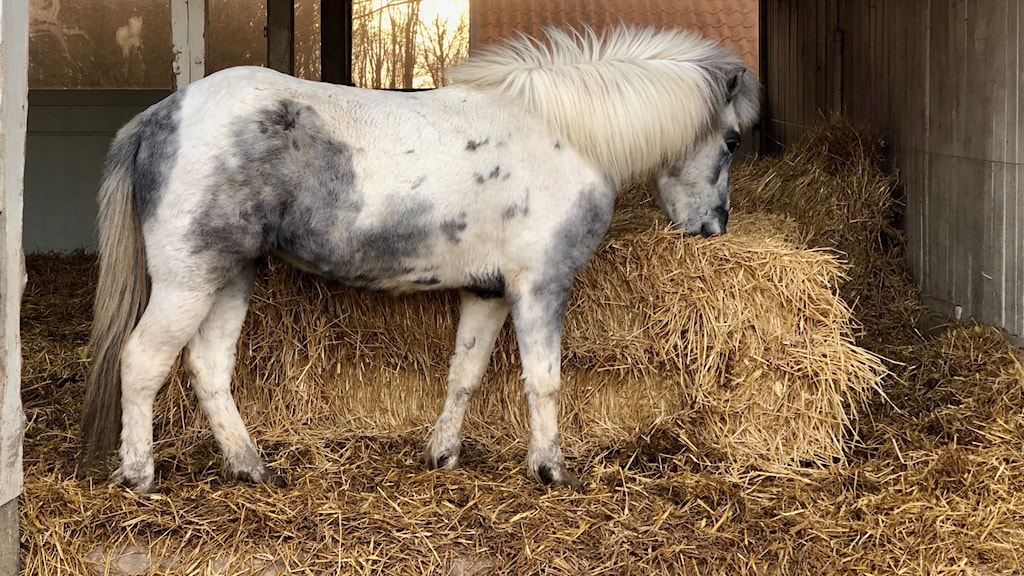 En häst står och äter halm