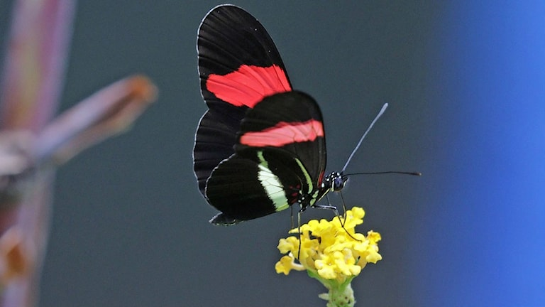En fjäril i Costa Rica som tillhör arten Heliconius melpomene rosina.