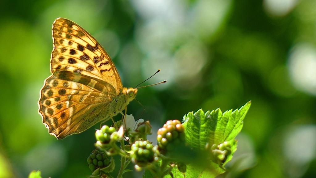 Gulmönstrad fjäril sitter på en växt.