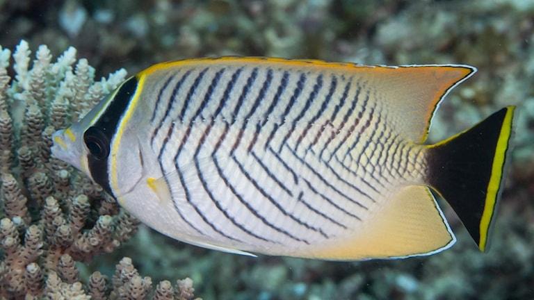 En typ av fjärilsfisk. Den har svarta ränder på vit bakgrund och svart/vit/gula fenor.