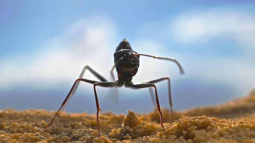 Närbild framifrån på den nordafrikanska myrarten Cataglyphis fortis.