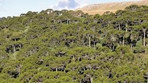 Bergssluttning med skog av brödgranar.