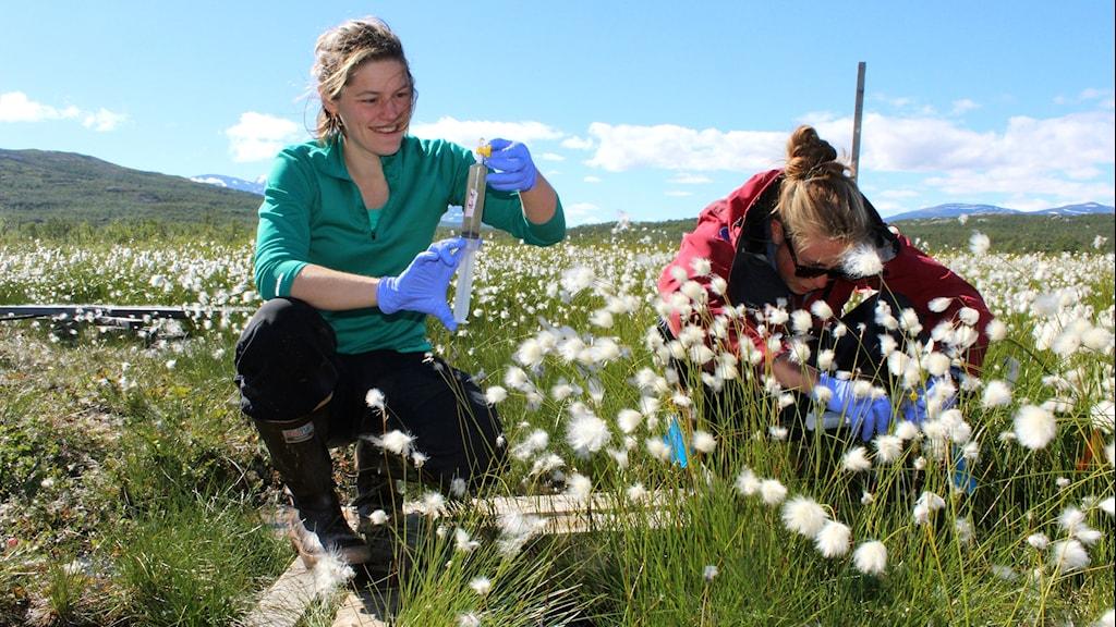 Biologen Moira Hoguh och fältassistenten Hanna Axén på Stordalsmyren vid Abisko.