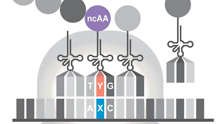 Schematisk bild över hur en för cellen främmande aminosyra, som forskarna tillsatt, bygggs in i ett protein.