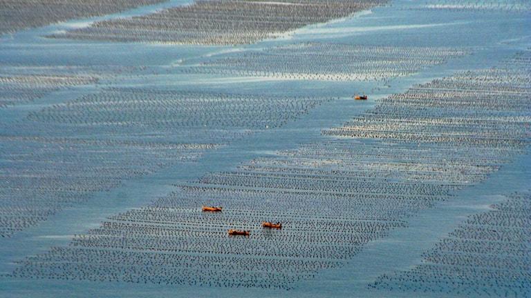 odlingen med bojar syns till havs