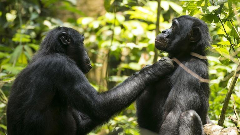bonoboapor som putsar varandra