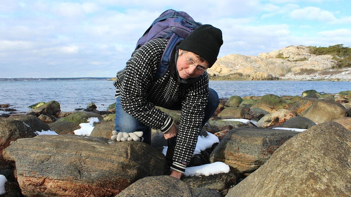 Marinekologen Kerstin Johannesson letar efter strandsnäckor på Saltö