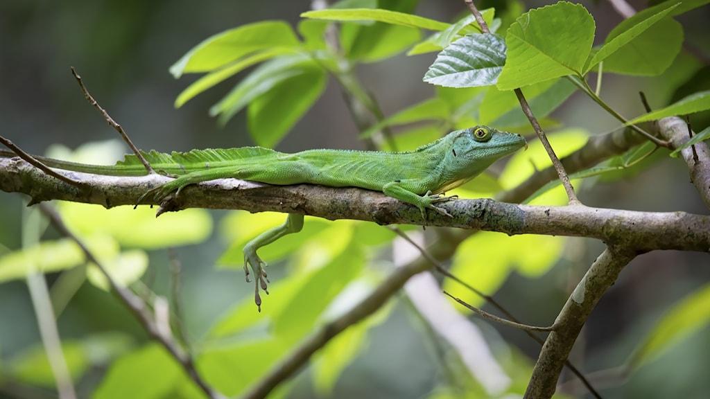 En grön ödla på en gren.