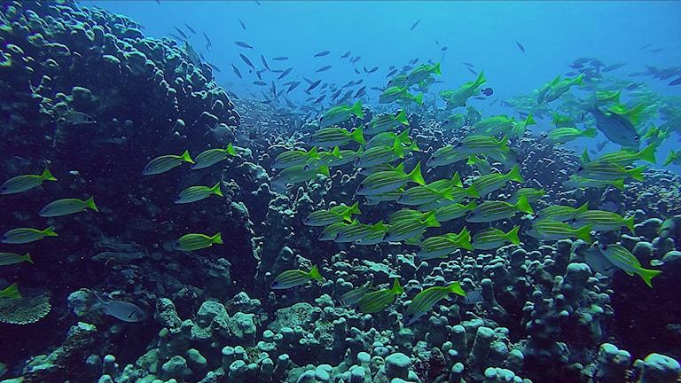 Ett stim av gulgröna fiskar i tropiskt vatten.