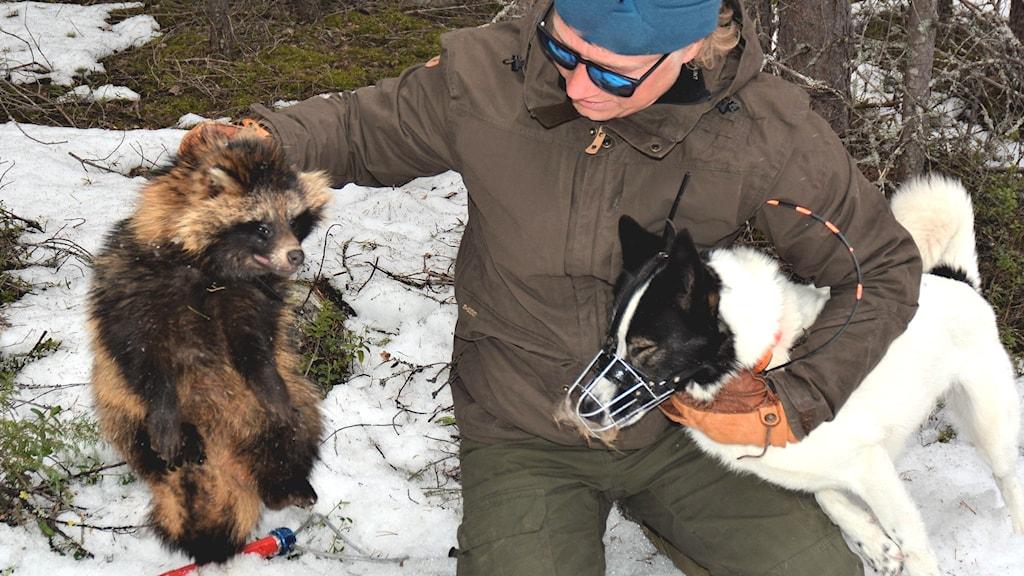 Yrkesjägaren Mikael Paavola har fångat mårdhund.