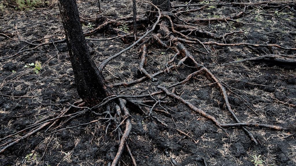 En trädstam med brända rötter