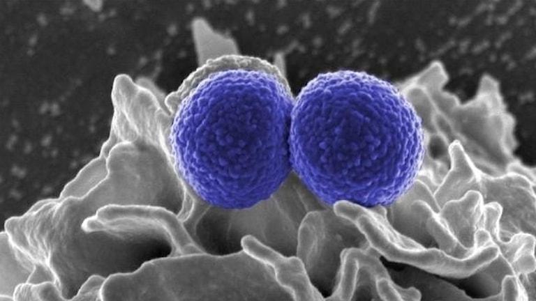 bakterier i mikroskop