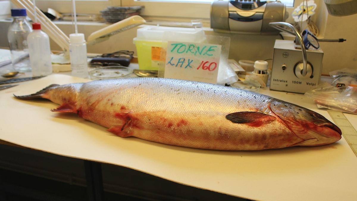 En lax från Torneälven ligger på en labb-bänk på IVL Svenska miljöinstitutet