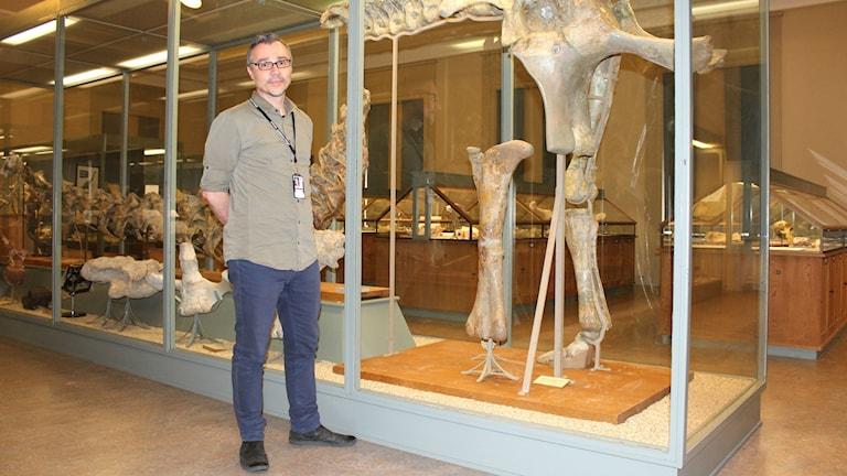 Benjamin Kear är intendent vid Evolutionsmuseet i Uppsala och här står han framför en monter med ett stort dinosauriefossil