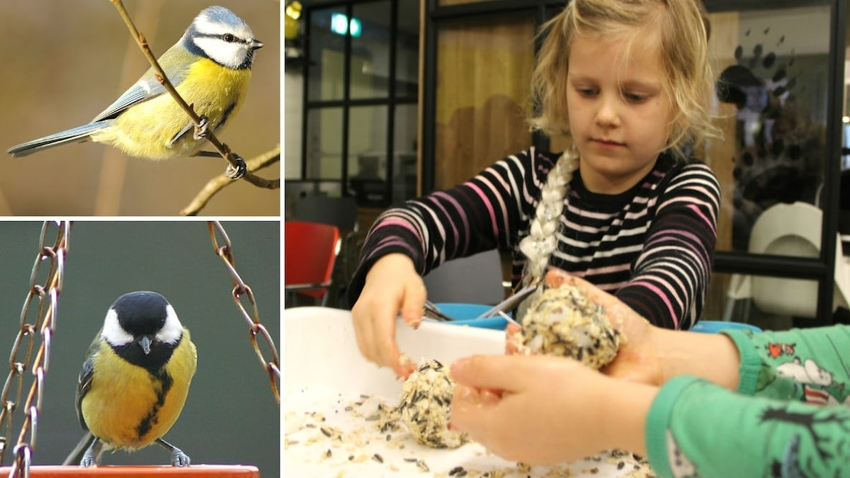 Ett collage med en blåmes, en talgoxe och även barn som tillverkar egna talgbollar.