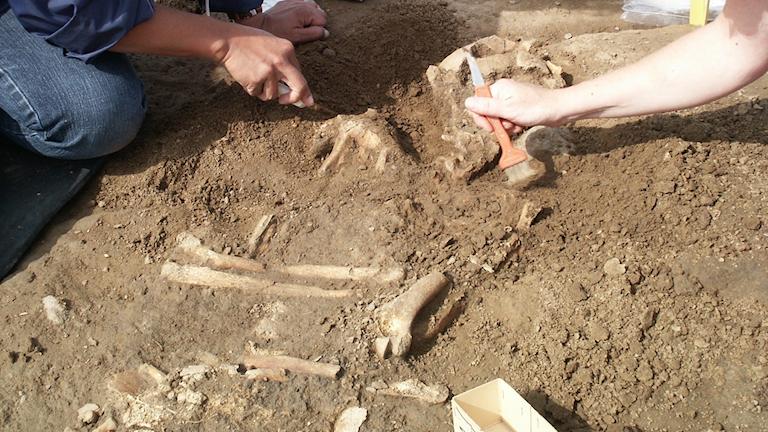 Skelett som hittats vid en arkeologisk utgrävning.