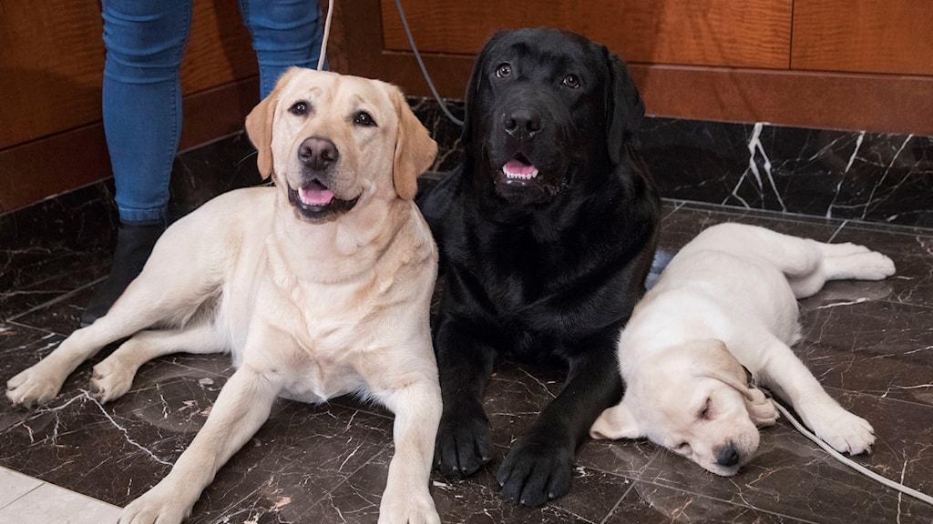 Tre hundar ligger på ett golv.