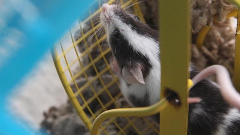 en mus springer i ett hamsterhjul