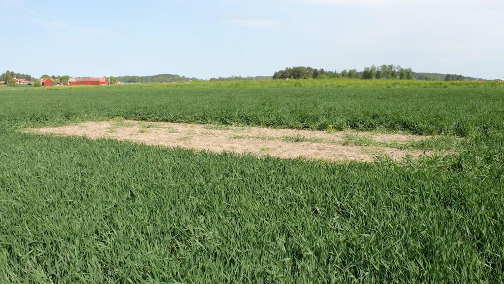 En lärkruta, det vill säga en några kvadratmeter stor osådd yta, i ett vetefält utanför Bålsta.