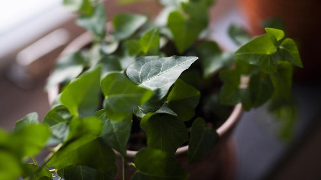 Murgröna som krukväxt.