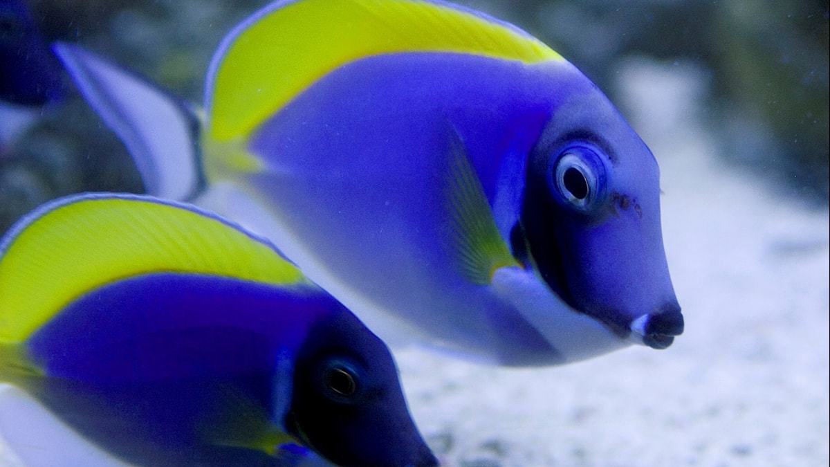 Två kirurgfiskar i blått och gult.