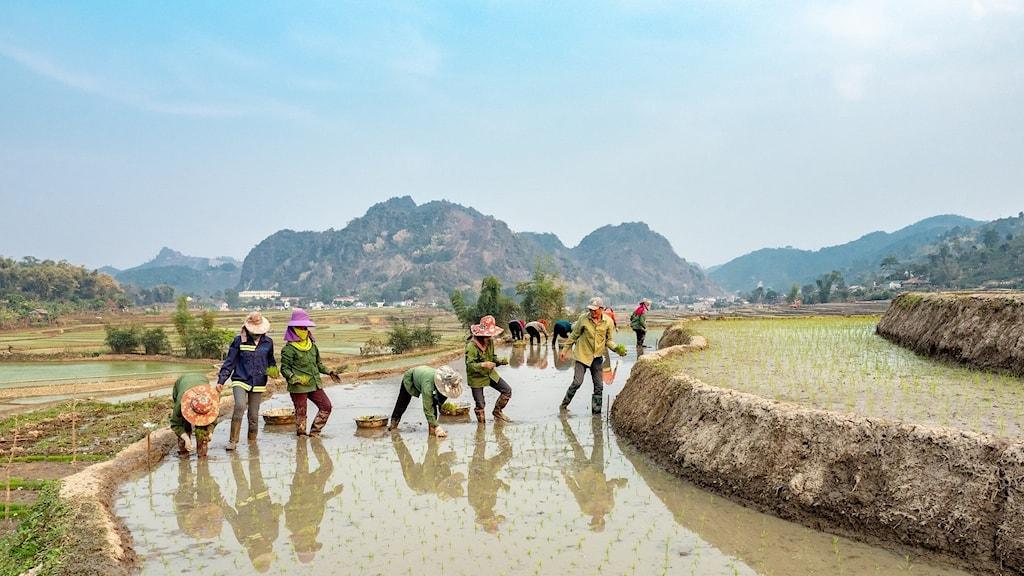 Kinesiska bönder på ett risfält.