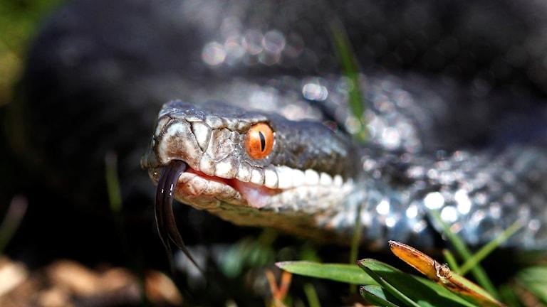 En närbild på en grå huggorm med orangea ögon