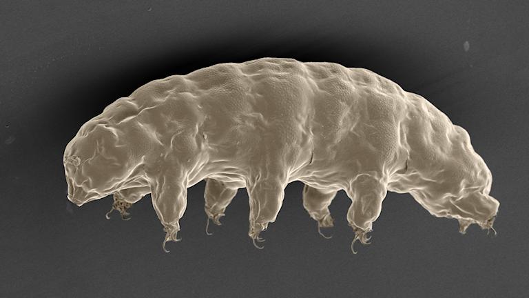 Uppförstorad bild av ett mikroskopiskt björndjur.