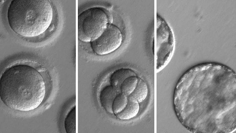 Utvecklingssteg hos embryon som behandlats med CRISPR-Cas9 för att ta bort en sjukdomsgen.