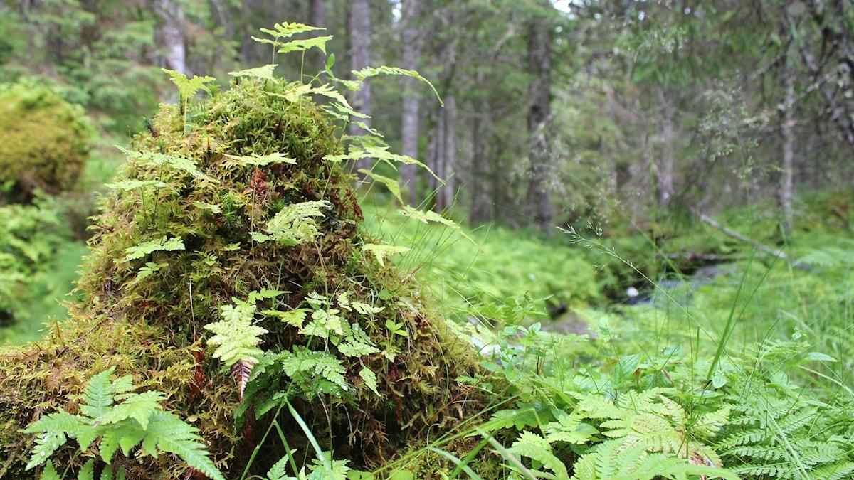 Ormbunkar i norsk regnskog.