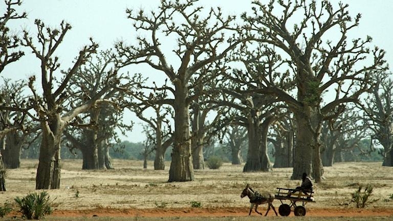 En gles skog av torra apbrödsträd