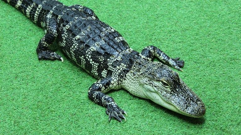 Ung alligator sedd snett uppifrån.