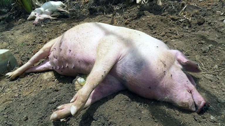 En gris drabbad av grispest ligger på jordig mark i Uganda.