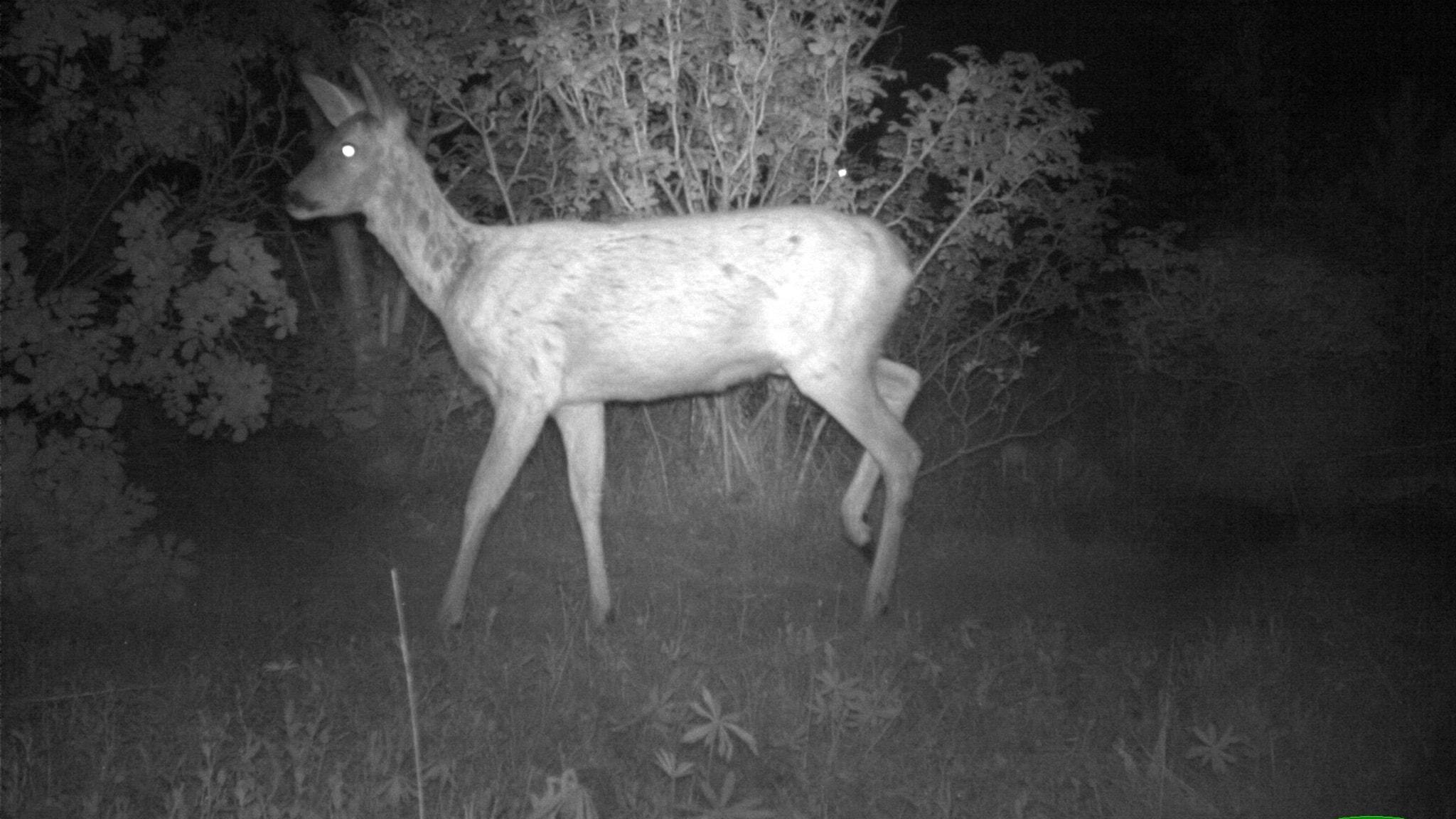 Kamerorna ska avslöja de vilda grannarna