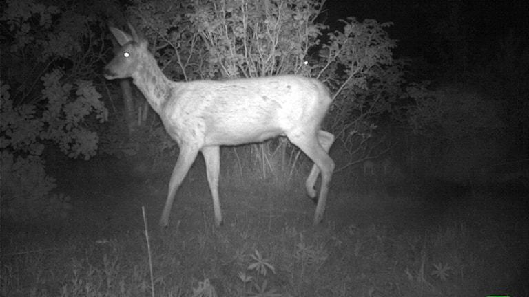 Rådjur i helbild. Foto taget på natten.