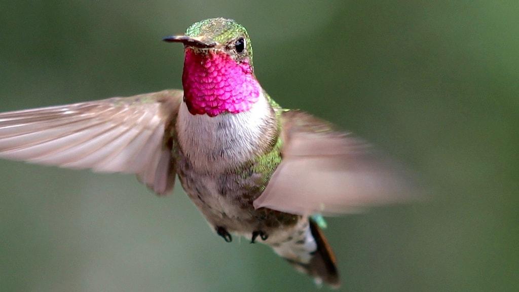 En flygande kolibri med vackert rosa hals.