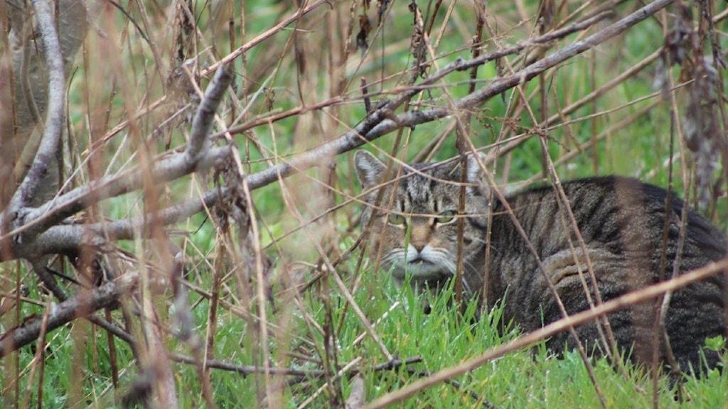 En katt gömmer sig i ett buskage.