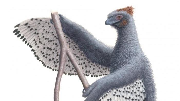 Halvbild på en blåsvart fluffig fågel med vitsvarta vingar hängande under armarna.
