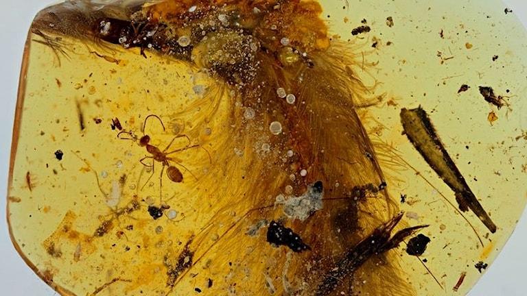 En bit av den fjäderklädda svansen av en dinosaurieunge har förevigats i en klcik bärnsten.
