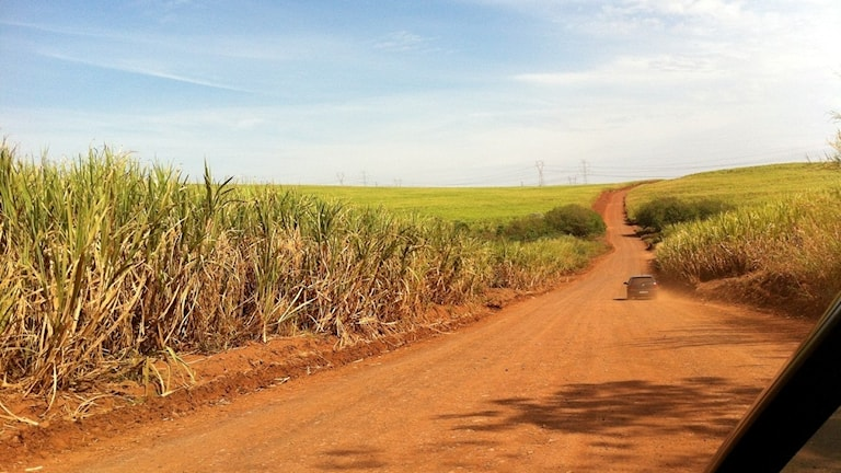rödbrun väg genom sockerrörsfält