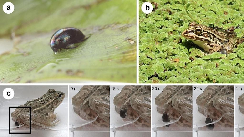 Bild på skalbaggen och en bild på grodan och en serie bilder när den tar sig ut där bak.